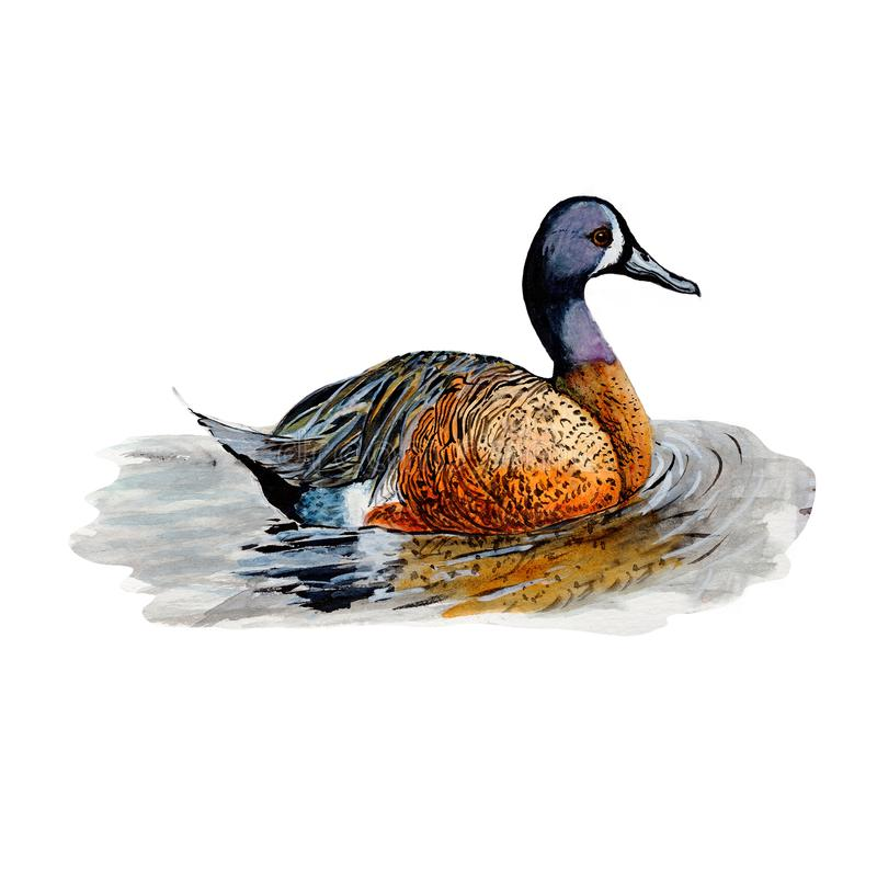 Duck.Watercolor single duck animal isolated on a white background illustration. stock illustration