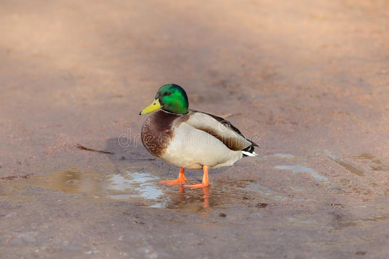 Duck on wet ground in spring. Portrait of a duck on wet ground in spring stock photos