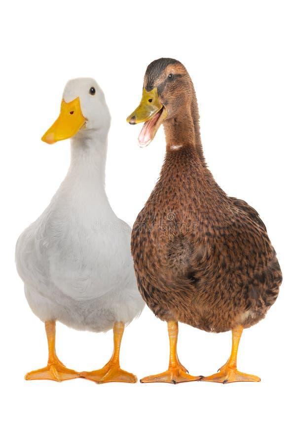 Duck white stock photos