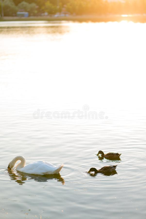 2 duck and white Swan swimming in the spring lake under sunset warm light stock photography