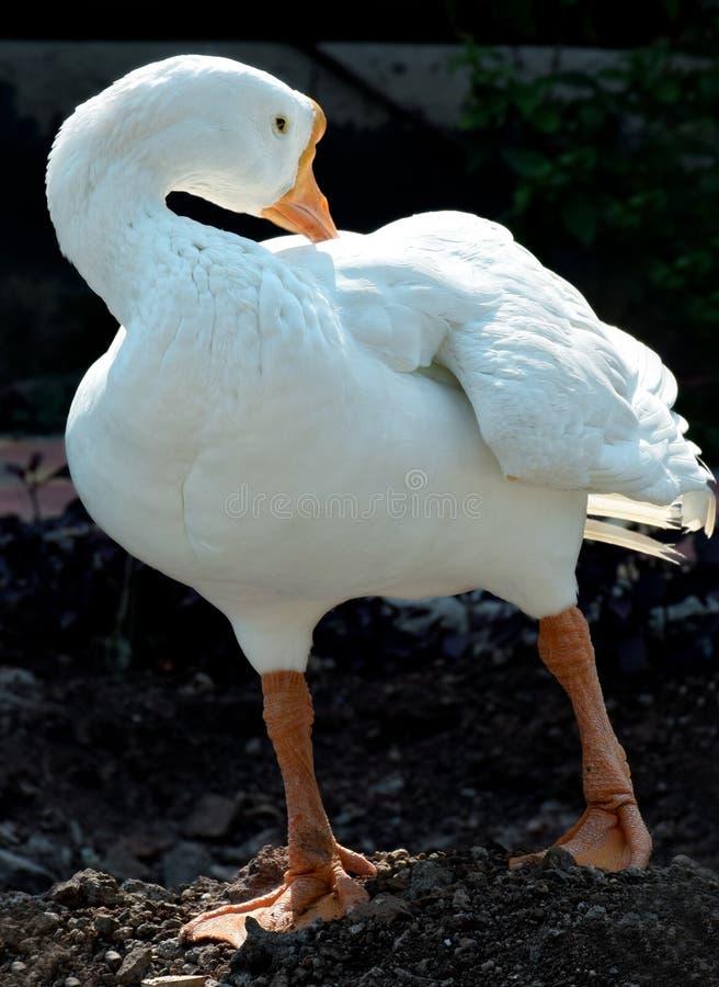 Duck Wild-dier stock foto