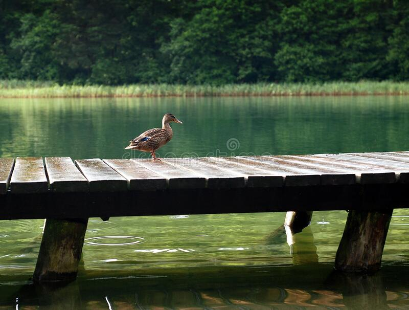 Duck on Wooden Dock at Daytime royalty free stock photography
