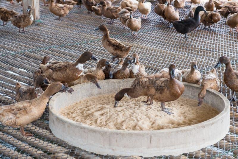 Ducka äta mat i lantgården, traditionellt lantbruk royaltyfri foto