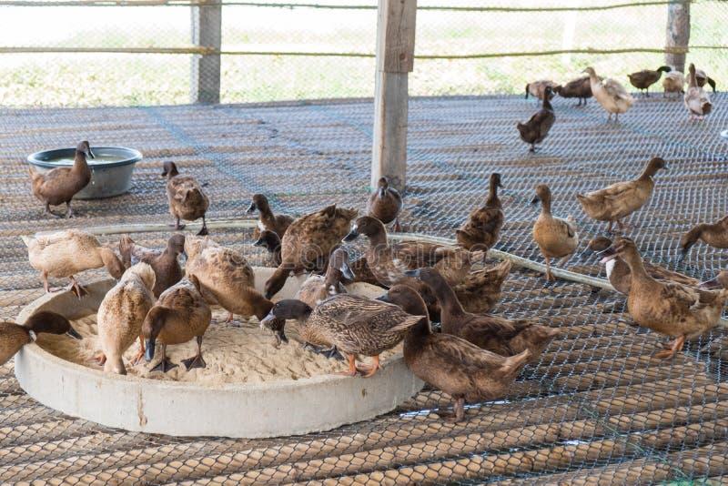 Ducka äta mat i lantgården, traditionellt lantbruk arkivfoton