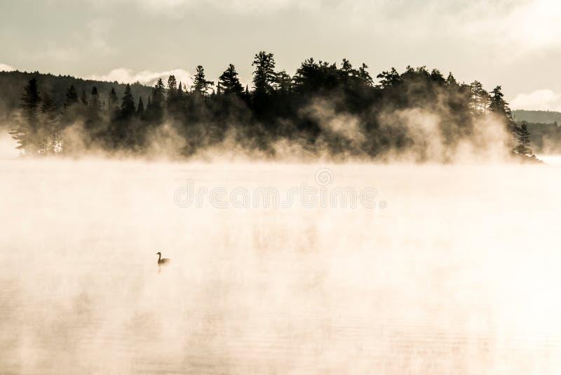 Ducka att simma ake av två floder i soluppgång för den algonquinnationalparkontario Kanada solnedgången med mycket dimmig bakgrun arkivbilder