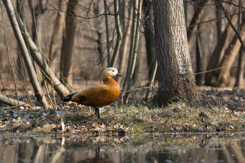 ducka på ett damm arkivfoto