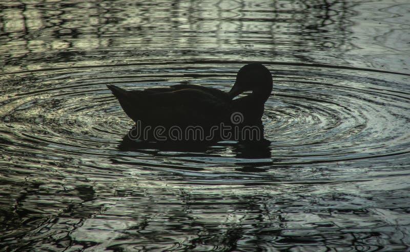 ducka silhouetten fotografering för bildbyråer