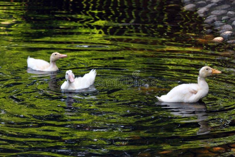 ducka white behandla som ett barn den gulliga anden Ung vit duckar simning i vattnet i sjön Ankungebad i dammet Behandla som ett  fotografering för bildbyråer