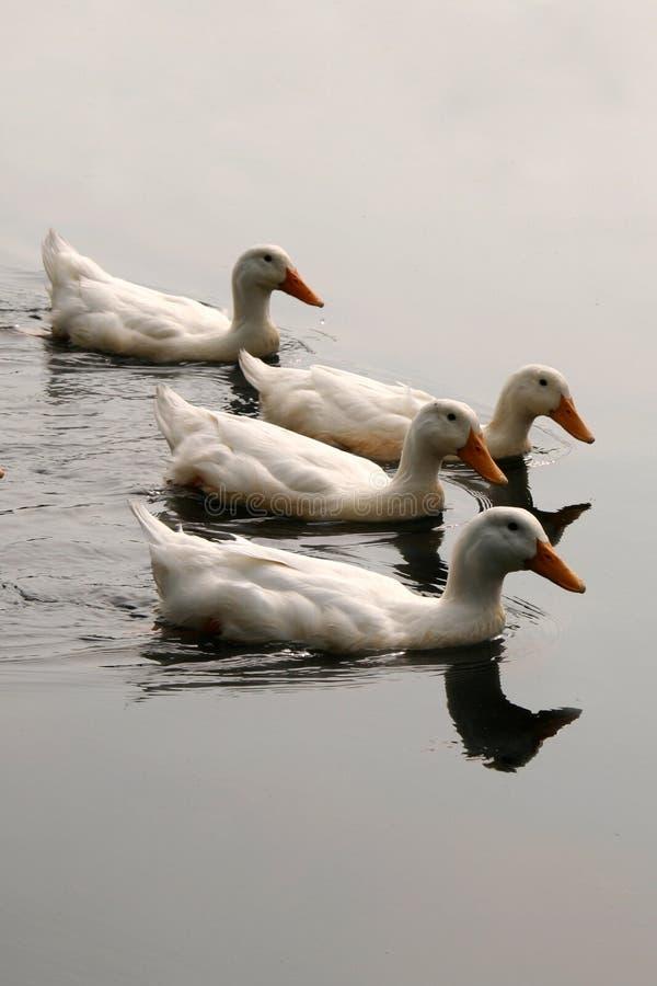 duckar bildandewhite royaltyfri fotografi