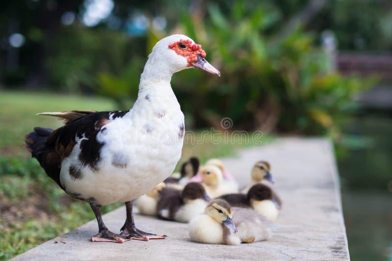 duckar familjen arkivbild