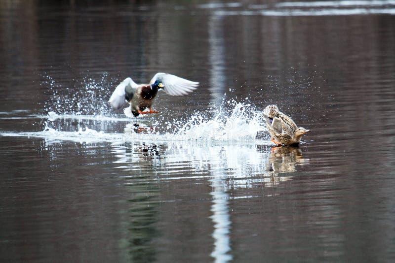 Duckar forcerad landning i en sjö royaltyfri fotografi