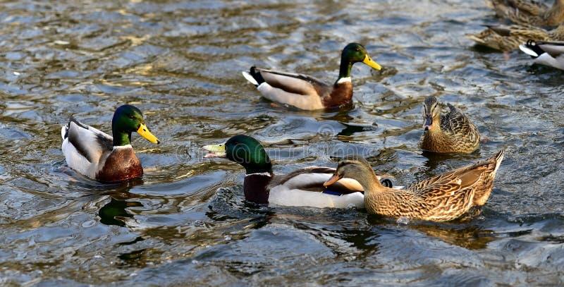 duckar gräsandet arkivbilder