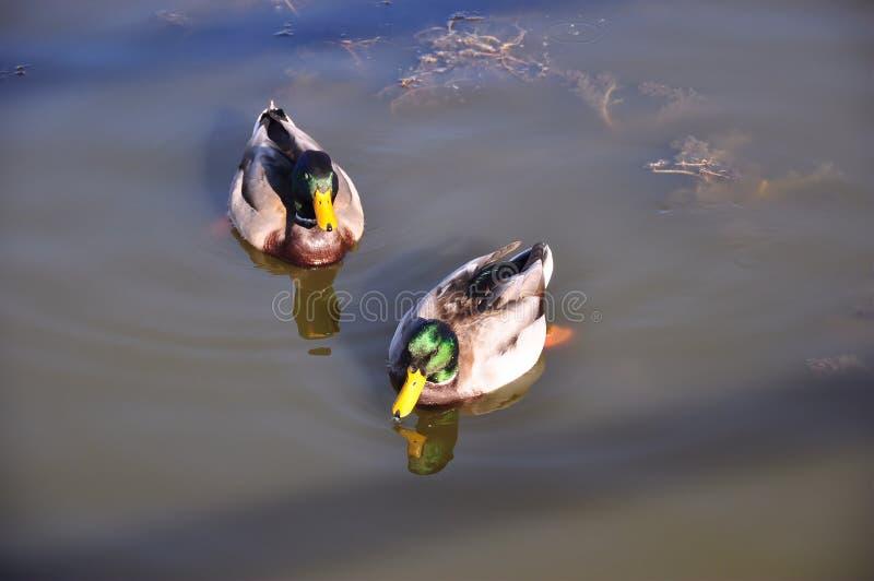 duckar gräsandet arkivbild