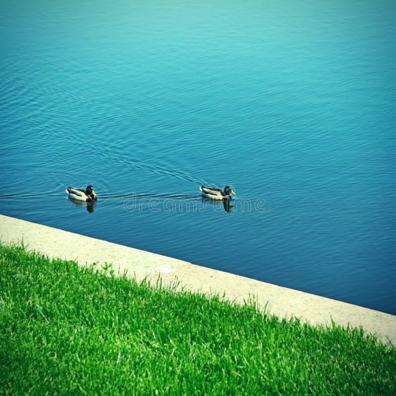 duckar laken fotografering för bildbyråer