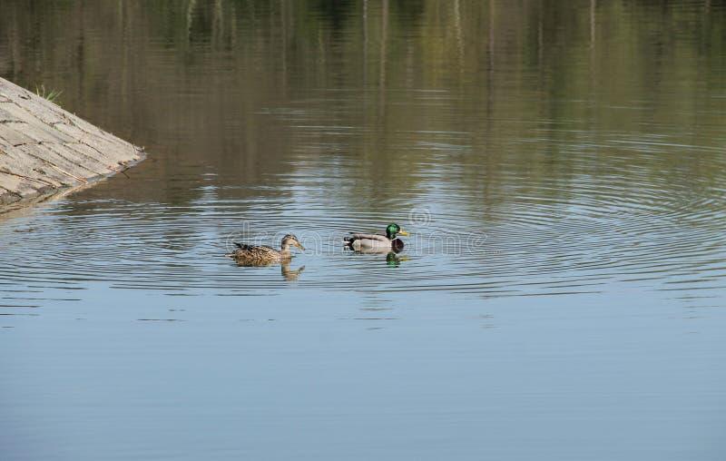 duckar laken arkivbild