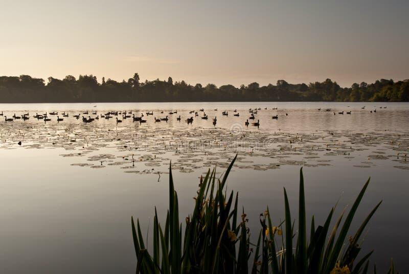 duckar soluppgång för ellesmere lakelampa arkivbild