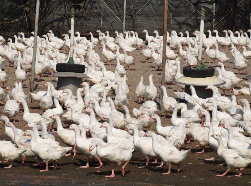 duckar tons fotografering för bildbyråer