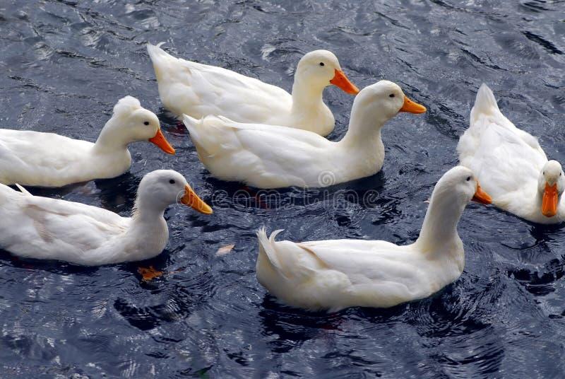 duckar white arkivfoto
