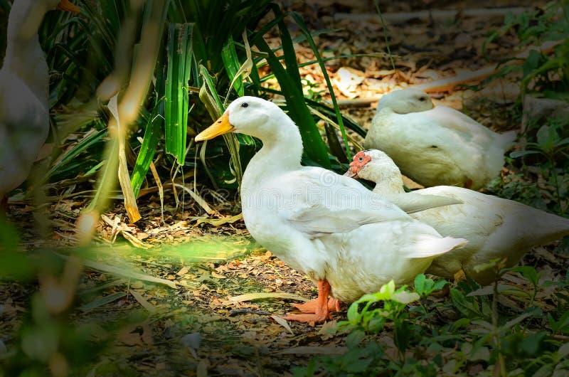 duckar white arkivbild