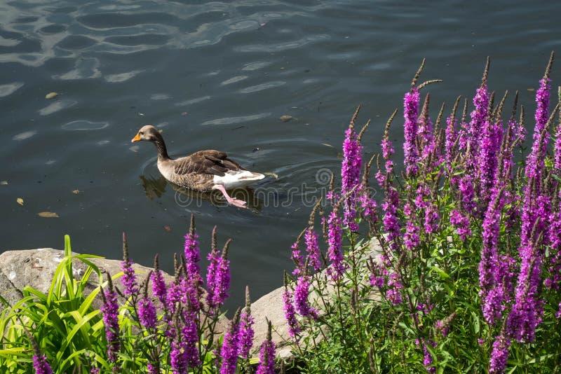 Ducken Sie Schwimmen im See hinter die blühenden Blumen stockbild