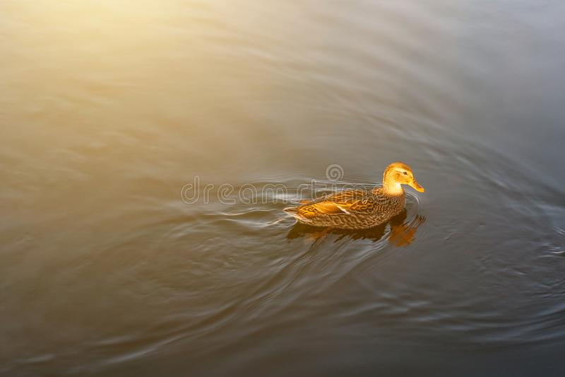 Ducken Sie Schwimmen im Teich am Park im Morgenlicht Morgensonne mit Vogel lizenzfreie stockbilder