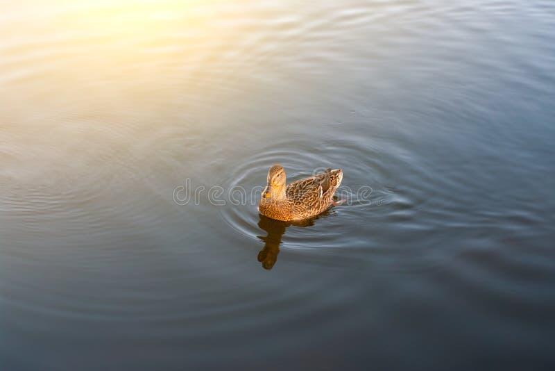 Ducken Sie Schwimmen im Teich im Park im Morgenlicht Morgensonne mit Vogel lizenzfreies stockbild
