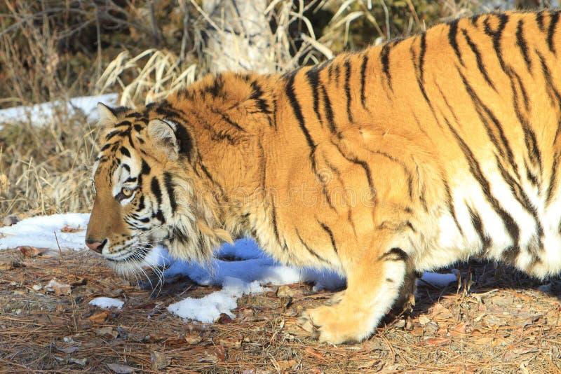 Duckender sibirischer Tiger lizenzfreies stockbild