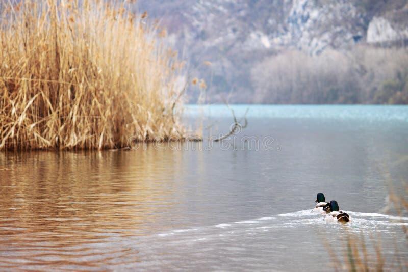 Duckes schwimmen auf dem Wasser lizenzfreie stockfotografie