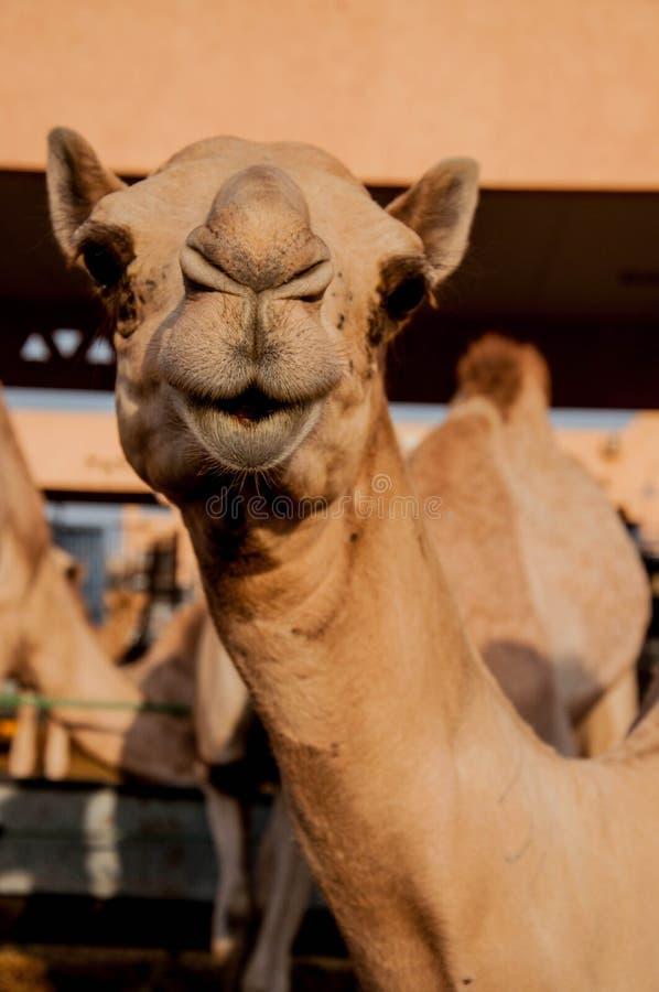 Duckface camel stock photos