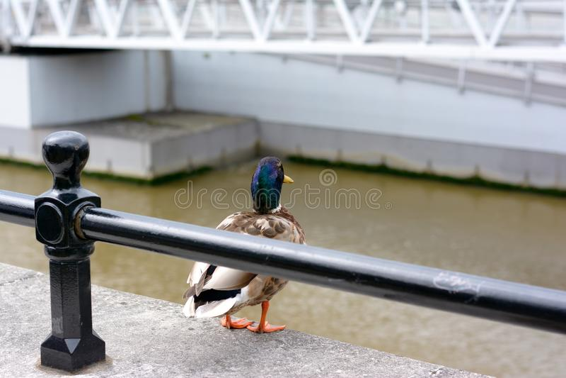 duckies стоковая фотография