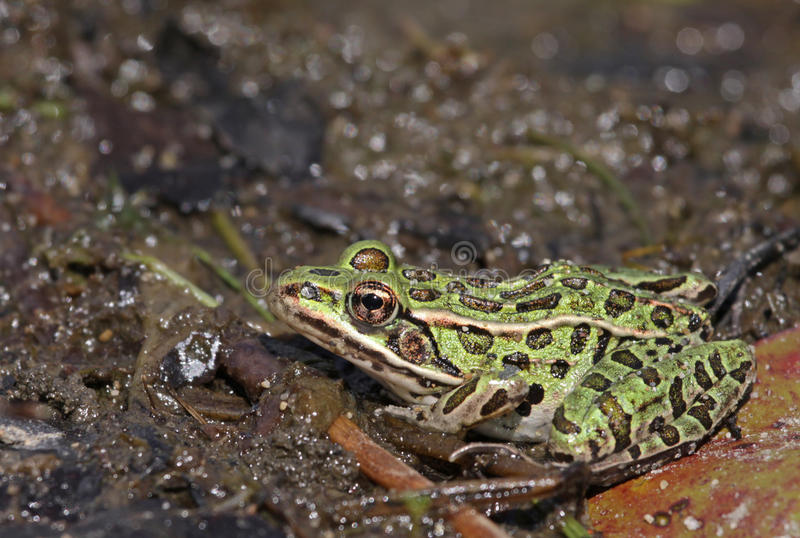 Ducking Northern Leopard Frog. A Northern Leopard frogs (Lithobates pipiens) sitting at the edge of a lake. Shot in Muskoka, Ontario, Canada stock images
