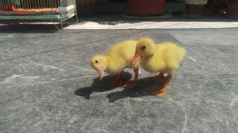 Ducklin obraz stock