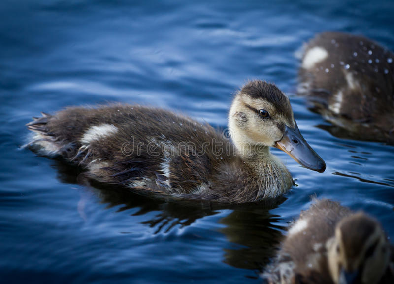 Download Duckling Stock Images - Image: 20186424