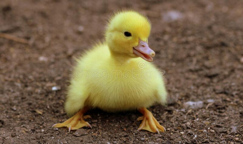 Duckling on Black Soil during Daytime stock photos