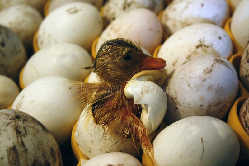 Duckling comes out of the egg in a hatchery, incubator. stock photo