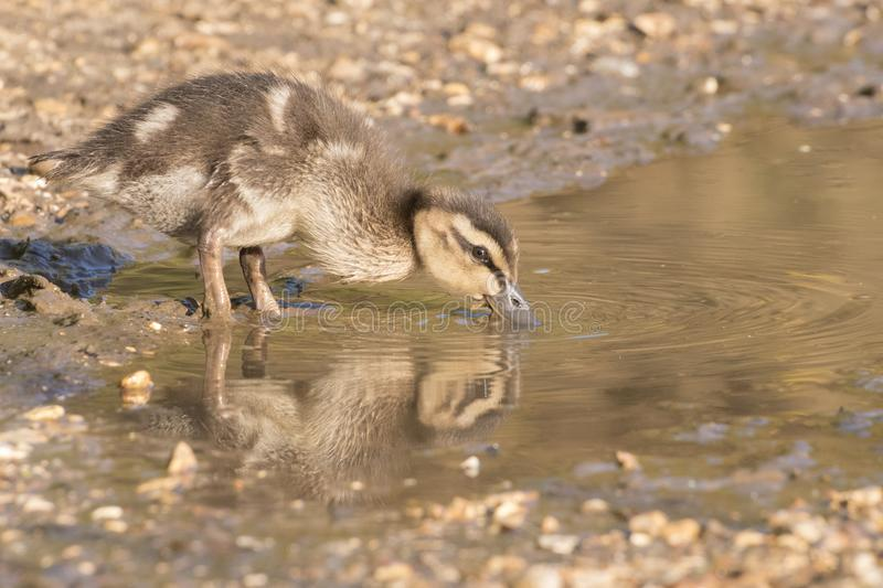 Download A Duckling Drinking From  A Puddle Stock Image - Image of cute, small: 115968375