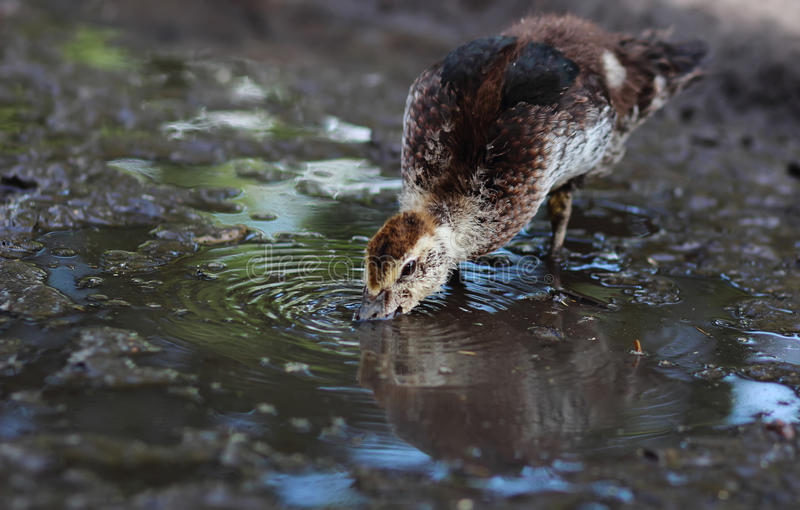Duckling drinks water from a puddle stock images