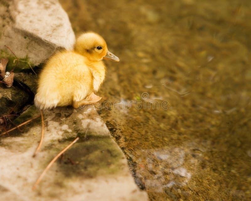 Duckling on the Edge stock photos