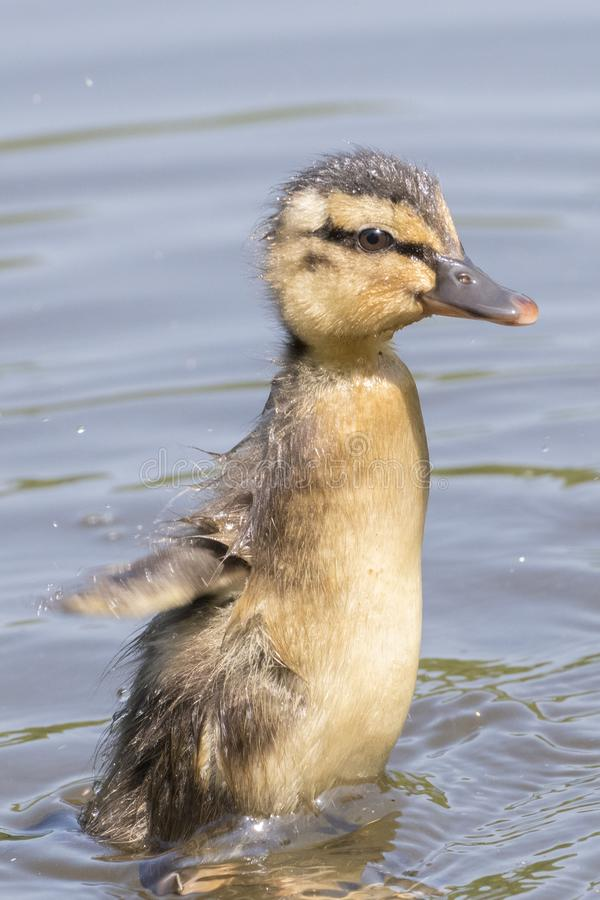 Download A Duckling Flapping Its Wings Stock Photo - Image of ornamental, wings: 116468228