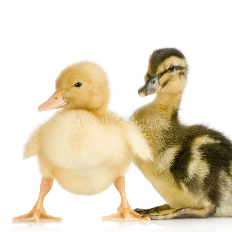 Duckling four days royalty free stock photos