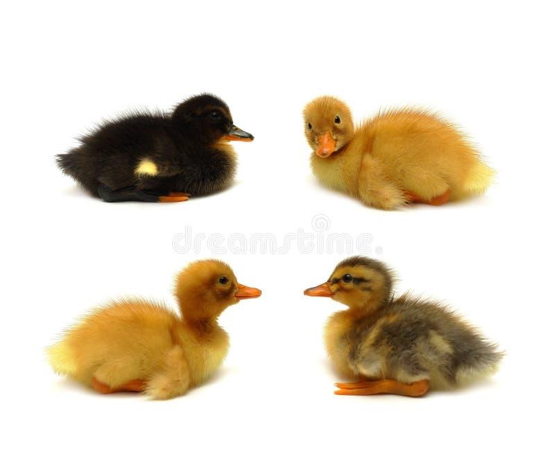 Duckling - four little birds stock photos