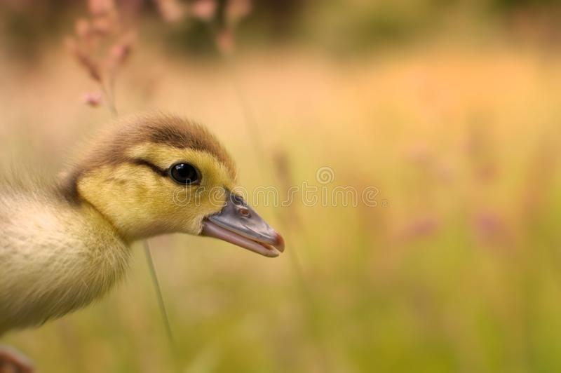 Duckling isolated in grass stock photo