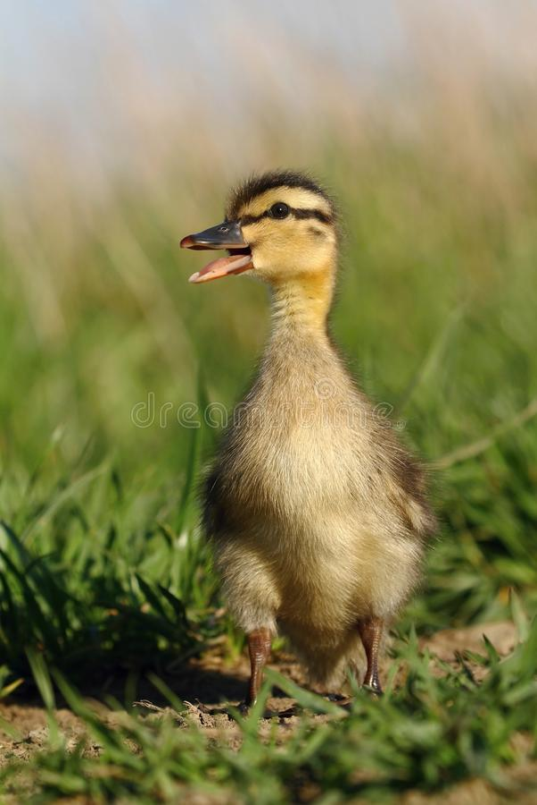 Duckling kalla royaltyfri foto