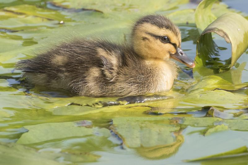 Download A duckling on a lily leaf stock image. Image of southampton - 116468627