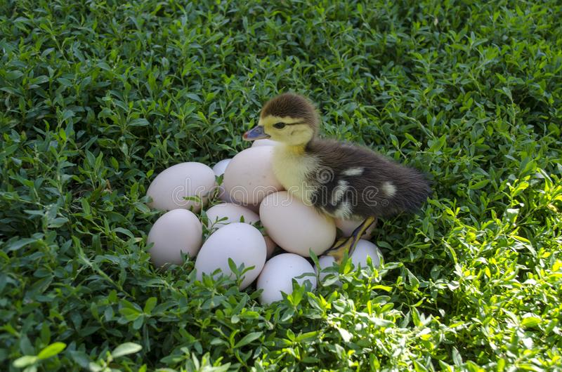 Duckling near the eggs stock photos