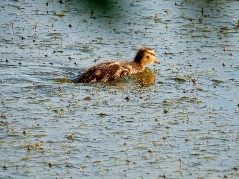 Cub of a wild duck. The duckling, noticing the danger on the shore, quickly began to flee to the middle of the lake. His webbed feet allow him to swim in the royalty free stock photos