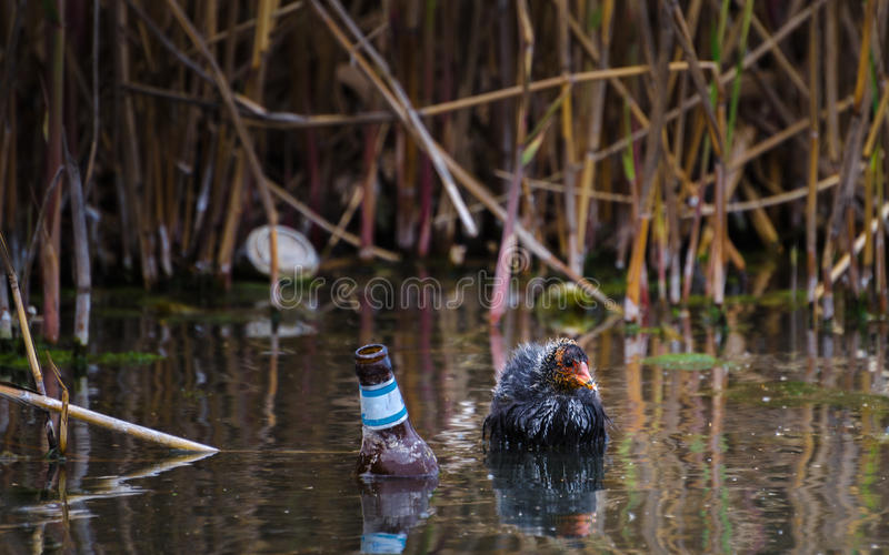 Earth Calling. Duckling in a river full of rubbish. Beer bottle and aluminum can. royalty free stock photography