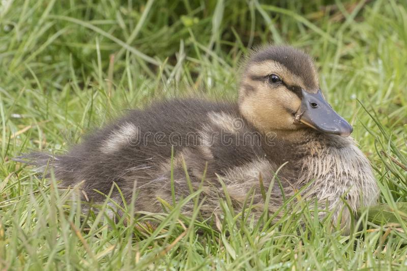 Download A Duckling Sitting  In The Grass Stock Image - Image of southampton, spring: 115967823