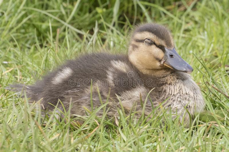 Download A Duckling Sleeping  In The Grass Stock Photo - Image of duckling, small: 115967770
