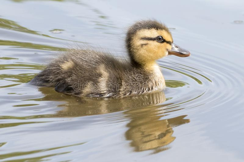 Download A Swimming Duckling With Reflection Stock Image - Image of swimming, tiny: 116468471